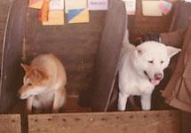 amerikansk akita hund